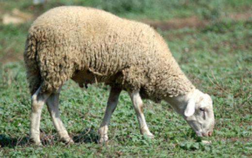 Oveja en campo de alfalfa